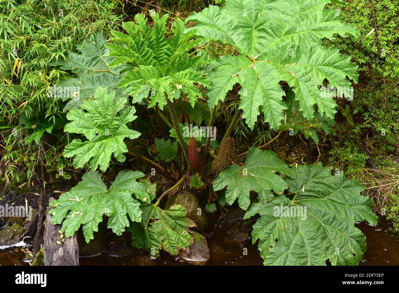 Rhubarbe chilienne ou nalca (Gunnera tinctoria ou Gunnera chilensis) est une grande herbe vivace indigène au centre et au sud Chili et Sud-Ouest Banque D'Images