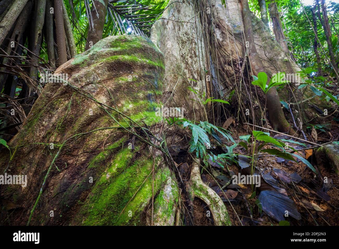 Grand arbre de ceiba, Ceiba pentandra, dans la forêt tropicale de la réserve naturelle de Burbayar, province de Panama, République du Panama. Banque D'Images