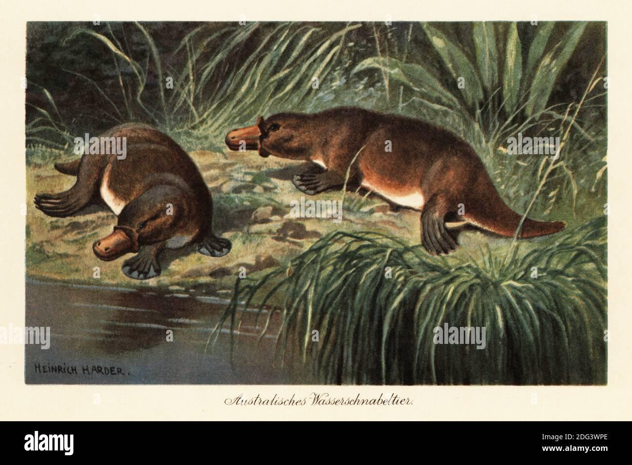 Ornithorynque à bec de canard, Ornithorhynchus anatinus, sur une rive de rivière. Le ornithorynque est un mammifère semi-aquatique monotone originaire de l'est de l'Australie, y compris la Tasmanie. Australisches Wasserschnabeltier. Illustration imprimée en couleur par Heinrich Harder de Wilhelm Bolsche Tiere der Urwelt (les animaux du monde préhistorique), Reichardt Cocoa Company, Hambourg, 1908. Heinrich Harder (1858-1935) était un artiste de paysage allemand et un illustrateur de livre. Banque D'Images