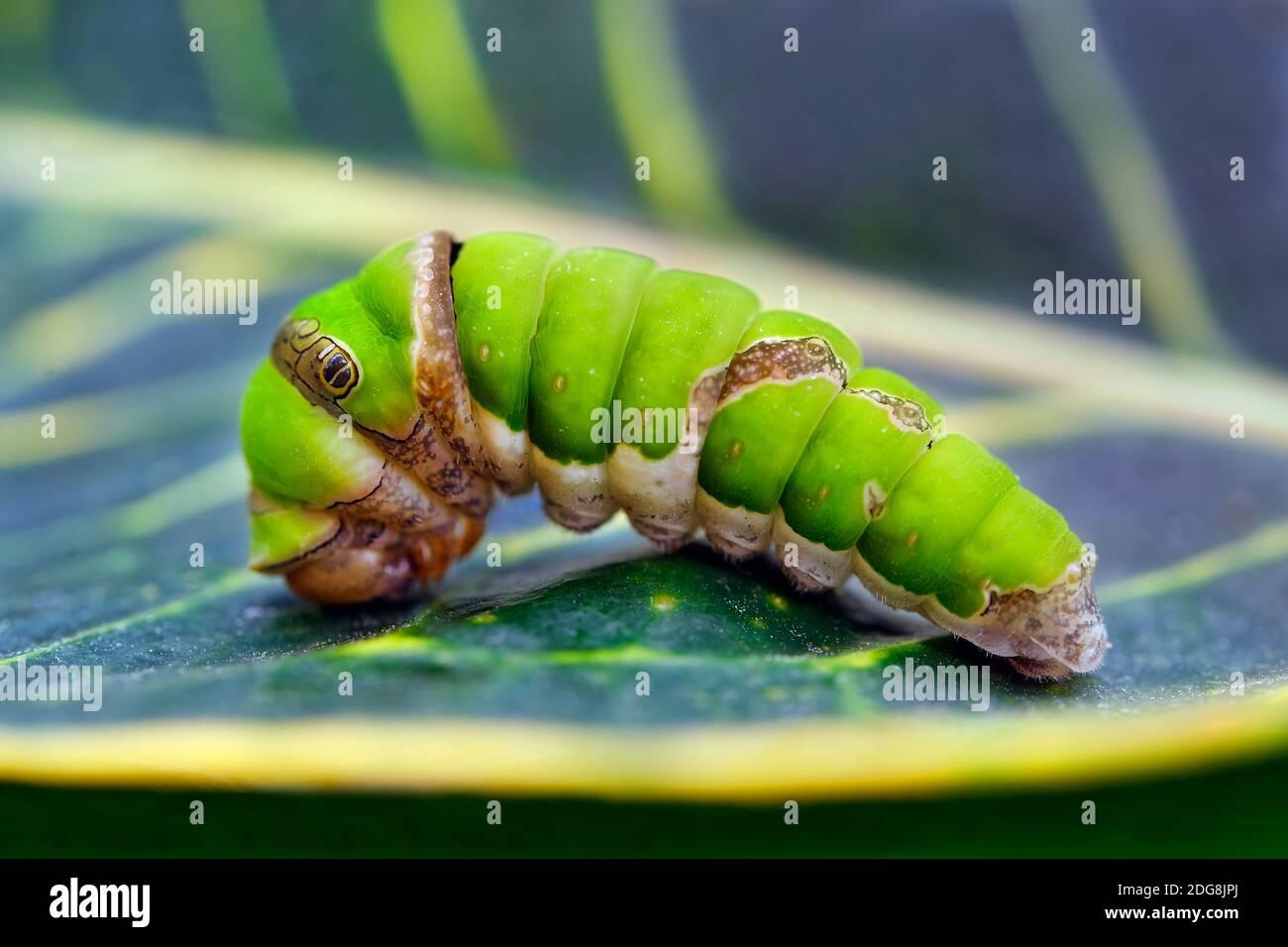 Chenille d'allowtail d'agrumes - Papilio demodocus Banque D'Images