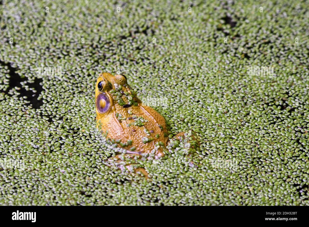 Bullfrog assis dans un étang couvert d'algues avec des algues Blooms sur Dos de grenouille et partie des pattes de grenouille provenant de l'eau Banque D'Images