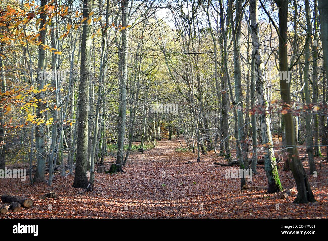 Photos pour une caractéristique sur Wellesley Woodland, Aldershot - automne Weekend Walks caractéristique. Woodland Trails, jeudi 12 novembre 2020. Banque D'Images