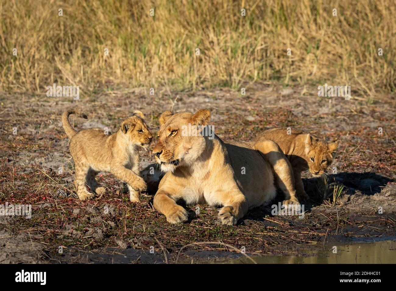 La lionne et ses deux petits lion de bébé jouant à la Bord de l'eau dans la réserve de Savuti au Botswana Banque D'Images