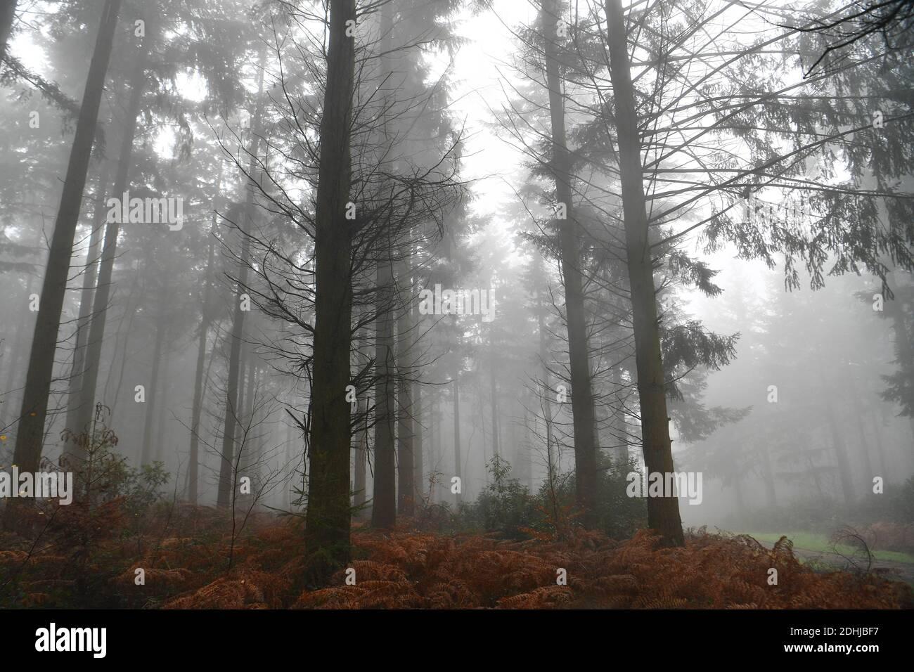 Images de brouillard dans les bois - North Downs près de West Horsley, Surrey.- Dick Focks Common - Forestry Commission. La photo montre du brouillard, des arbres, de la brume dans cette région pittoresque de Surrey. Photo prise le 7 décembre 2020 Banque D'Images