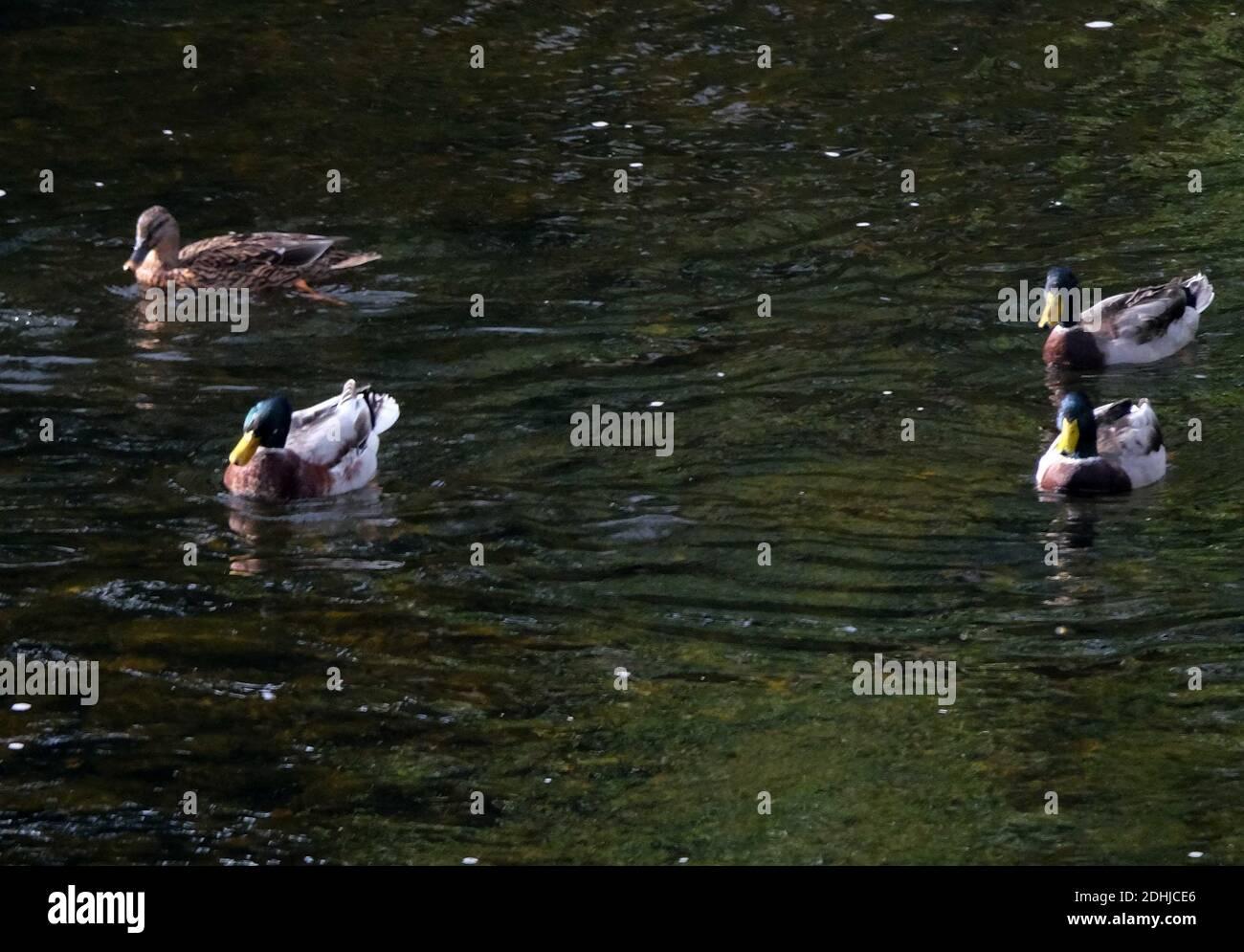 Canards sur le Coquet à Felton.Samedi 3 octobre 2020. Banque D'Images