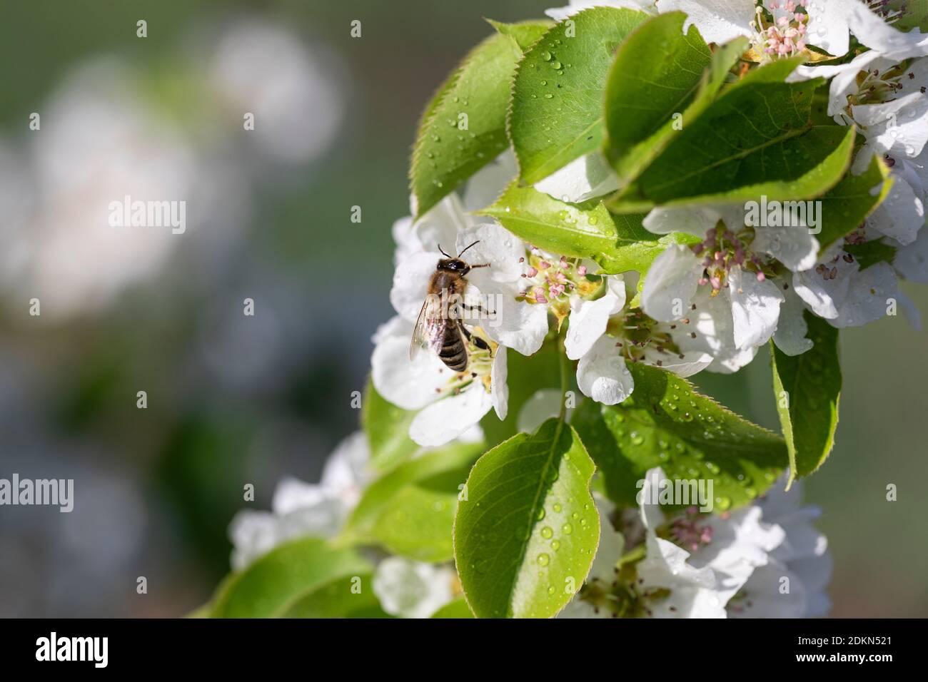 L'abeille très occupée recueille le pollen des pommiers blancs avec la rosée tombe tôt le matin Banque D'Images