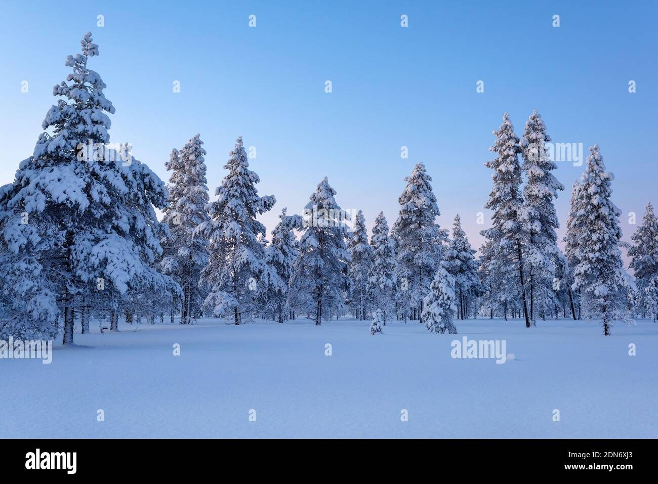Pins sur la neige a couvert la terre contre le ciel Banque D'Images