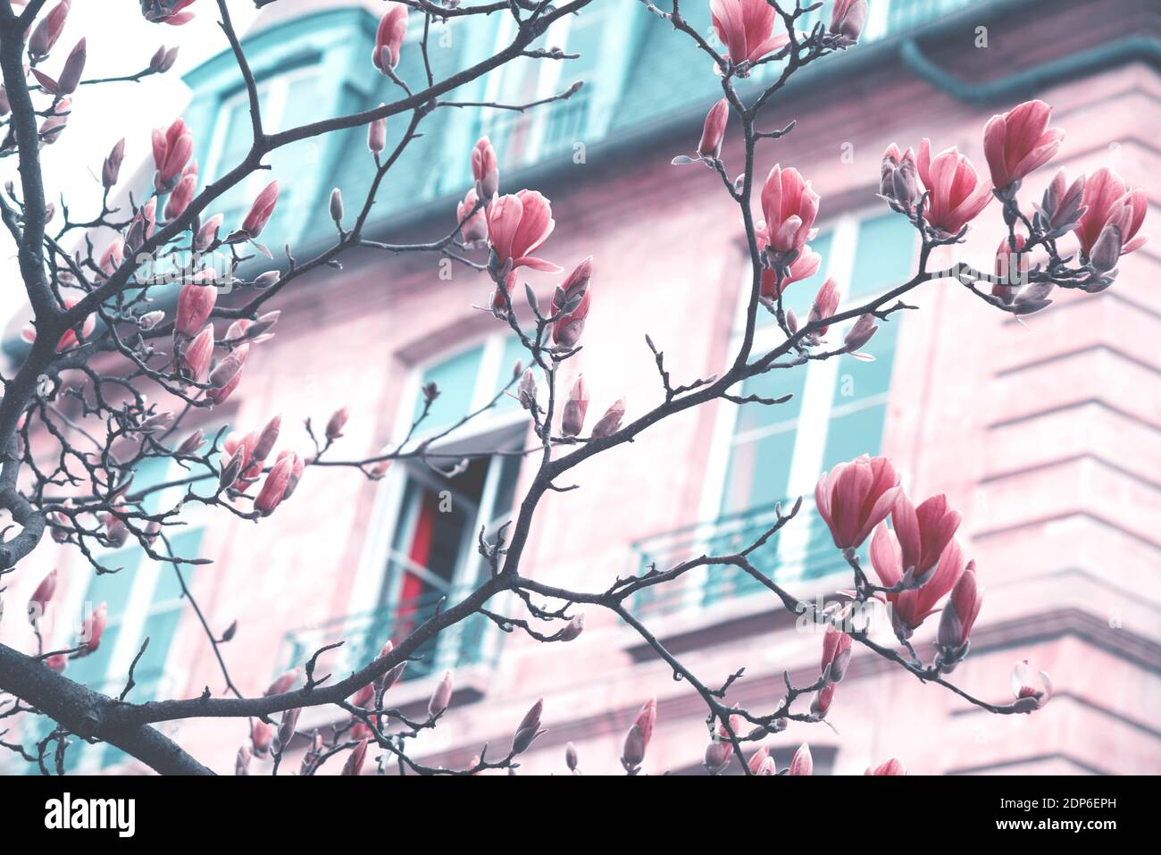 Printemps à Paris. Le magnolia fleuri et un bâtiment typiquement parisien avec un mansarde en arrière-plan. Concept de vacances romantiques. Tons rêveux rétro Banque D'Images