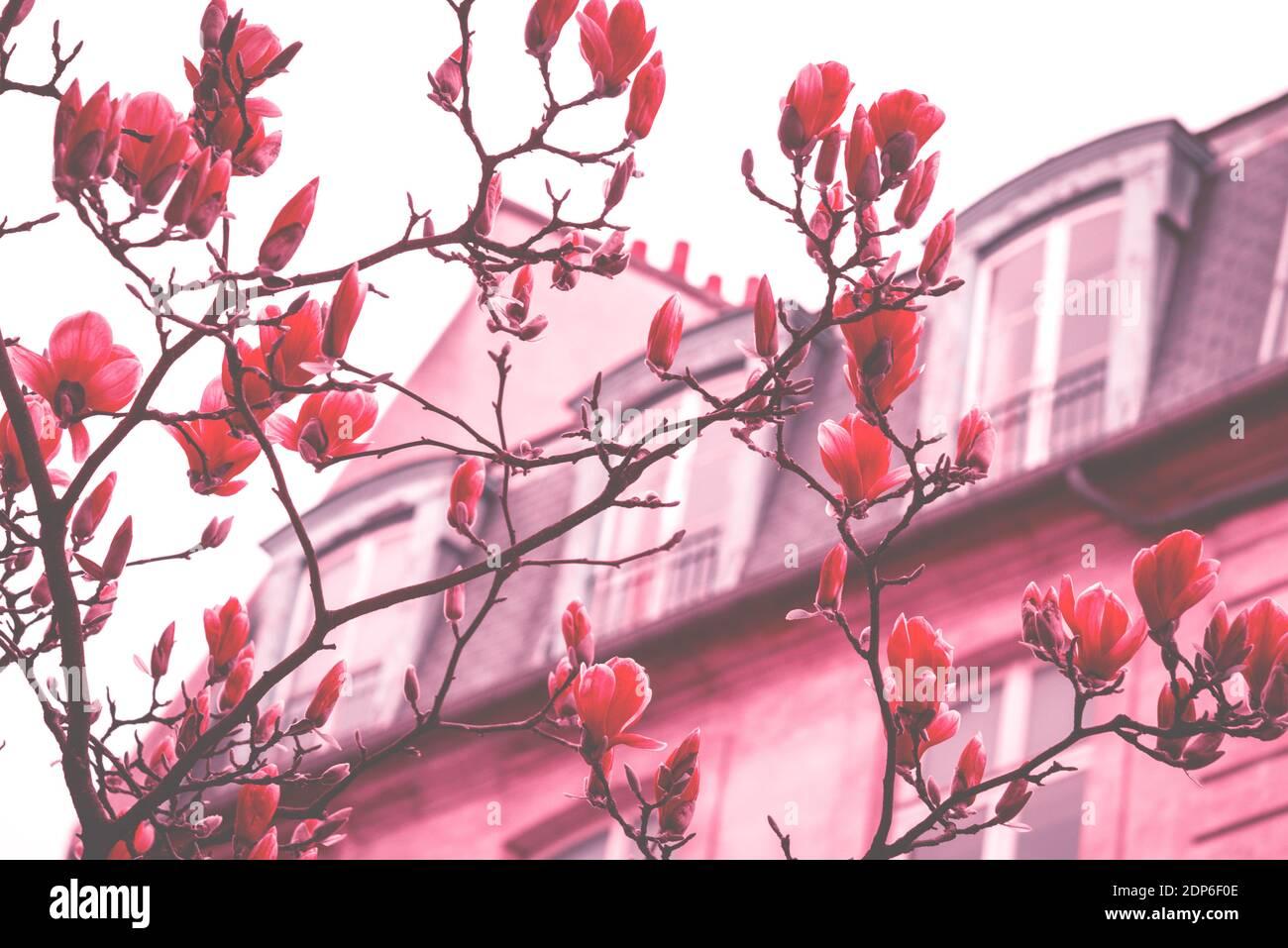 Printemps à Paris. Le magnolia fleuri et un bâtiment typiquement parisien avec un mansarde en arrière-plan. Concept de vacances romantiques. Ton rêveur vintage Banque D'Images