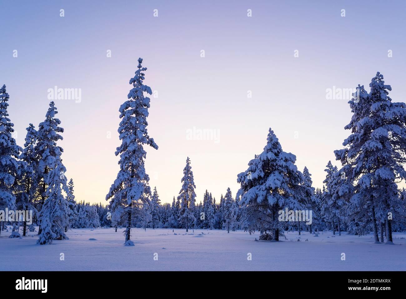 Pins sur Snowy Field contre Clear Sky Banque D'Images
