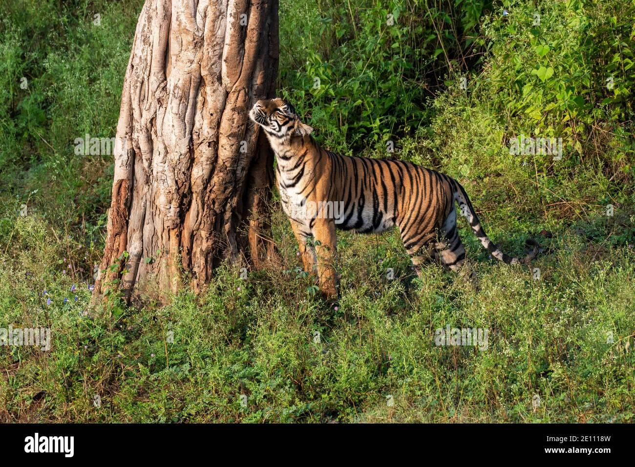Une sortie de marche sur la route forestière et le marquage du territoire À l'intérieur de la réserve de tigres de Nagarhole à Karnataka lors d'un safari dans la faune Banque D'Images