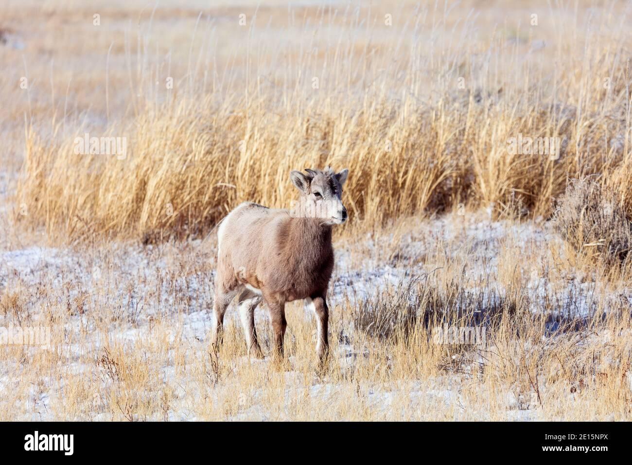 Agneau de mouflon de Bighorn dans la réserve nationale d'élans à Jackson, Wyoming Banque D'Images