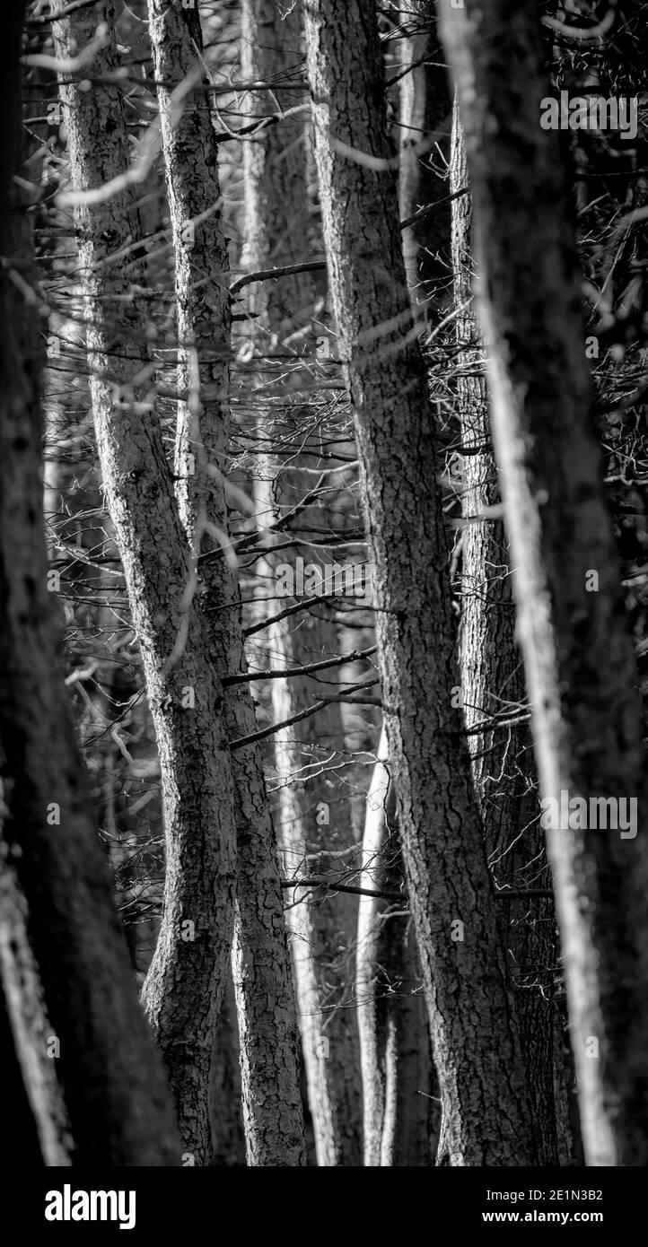Photo monochrome d'arbres proches les uns des autres dans les bois Banque D'Images