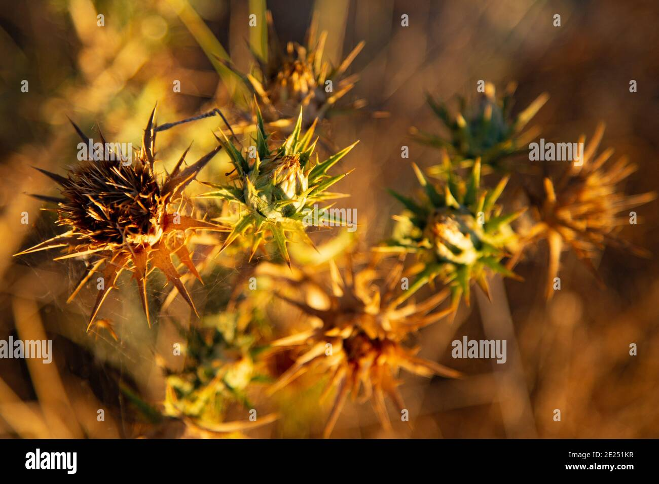 Chardon à tête de fleur mourante. Banque D'Images