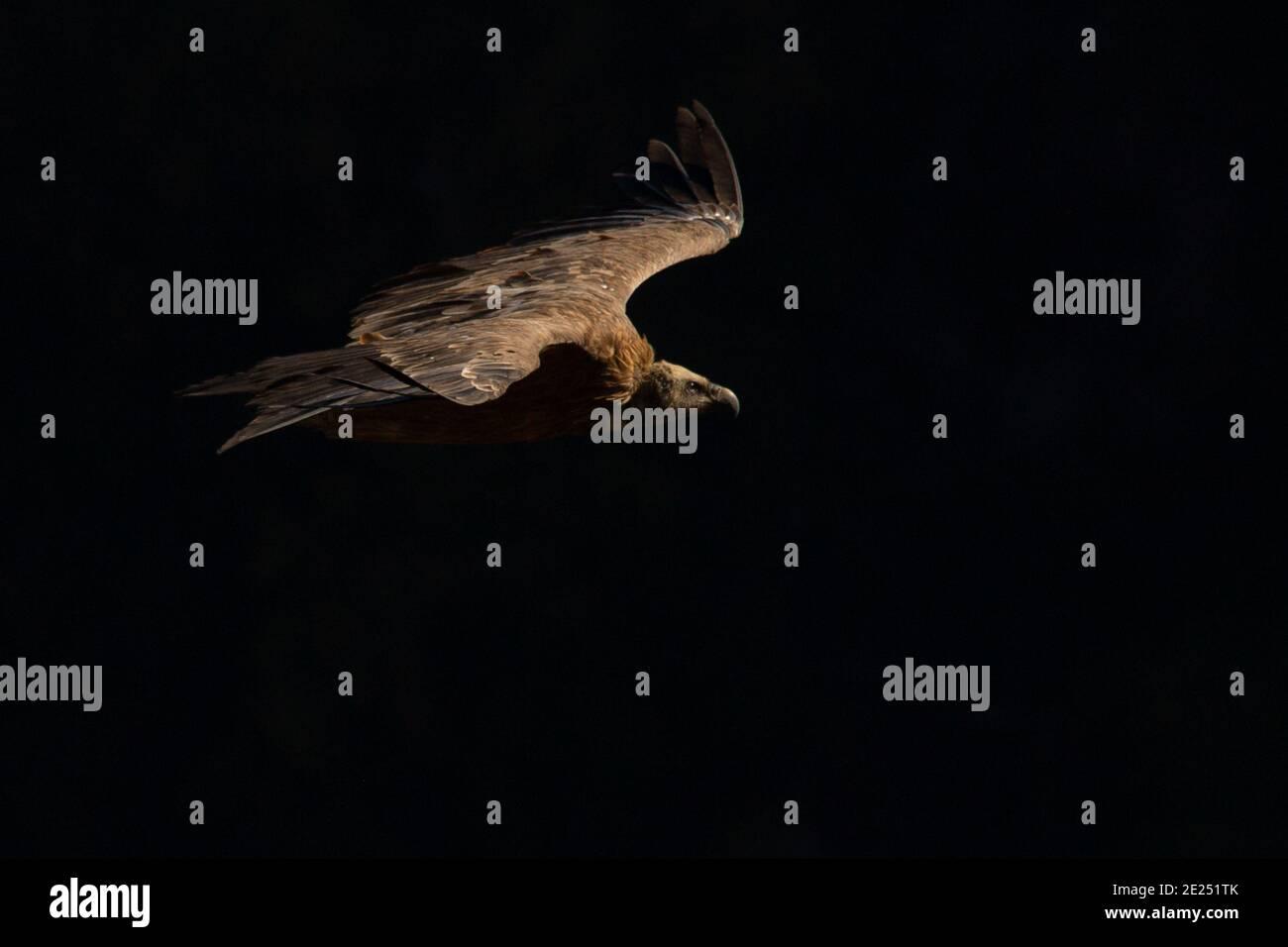 Portrait d'une griffon Vulture en plein soleil. Banque D'Images
