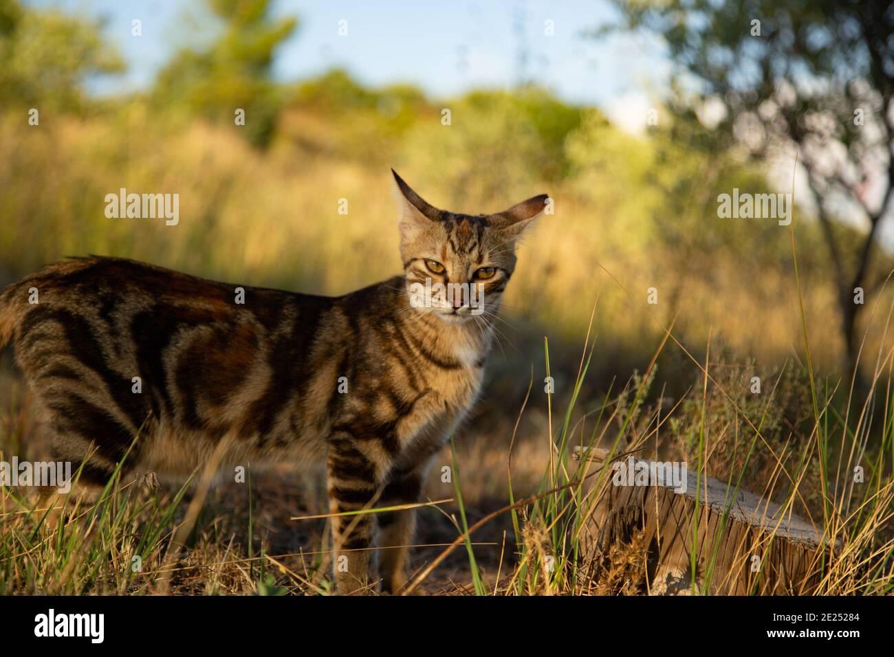 Tabby Cat sur une colline ensoleillée à l'aspect sauvage. Banque D'Images
