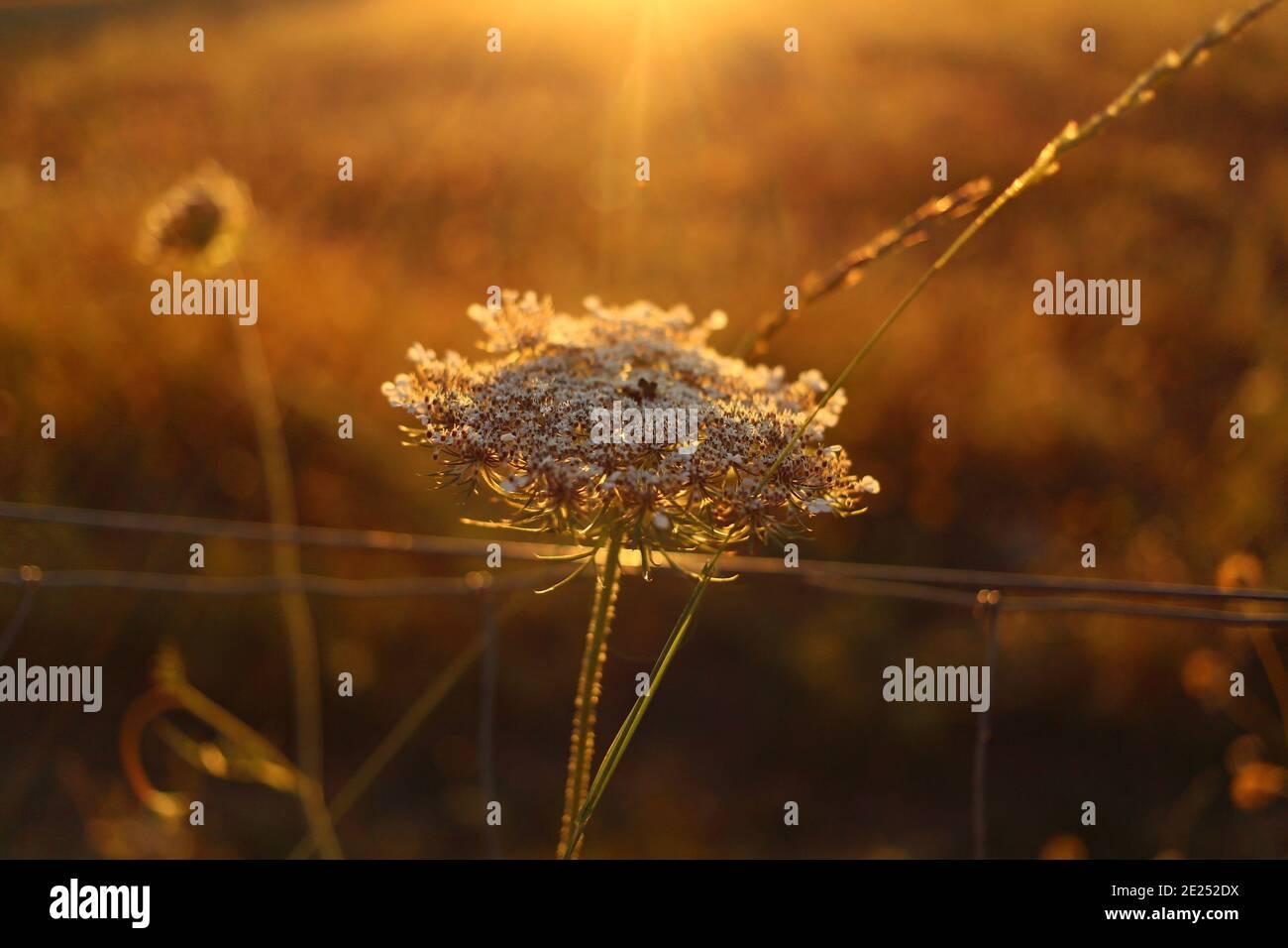 Fleur sauvage blanche au soleil doré Banque D'Images