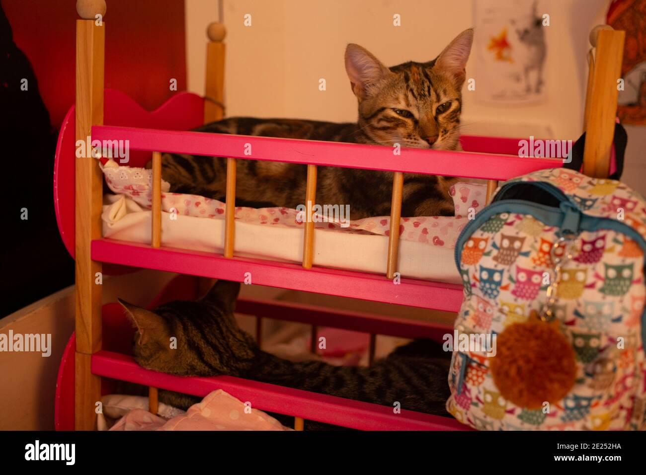 Chats mignon jeunes dans un lit de poupées. Deux jeunes chats frères se sentent à l'aise sur un lit superposé pour enfants. Banque D'Images