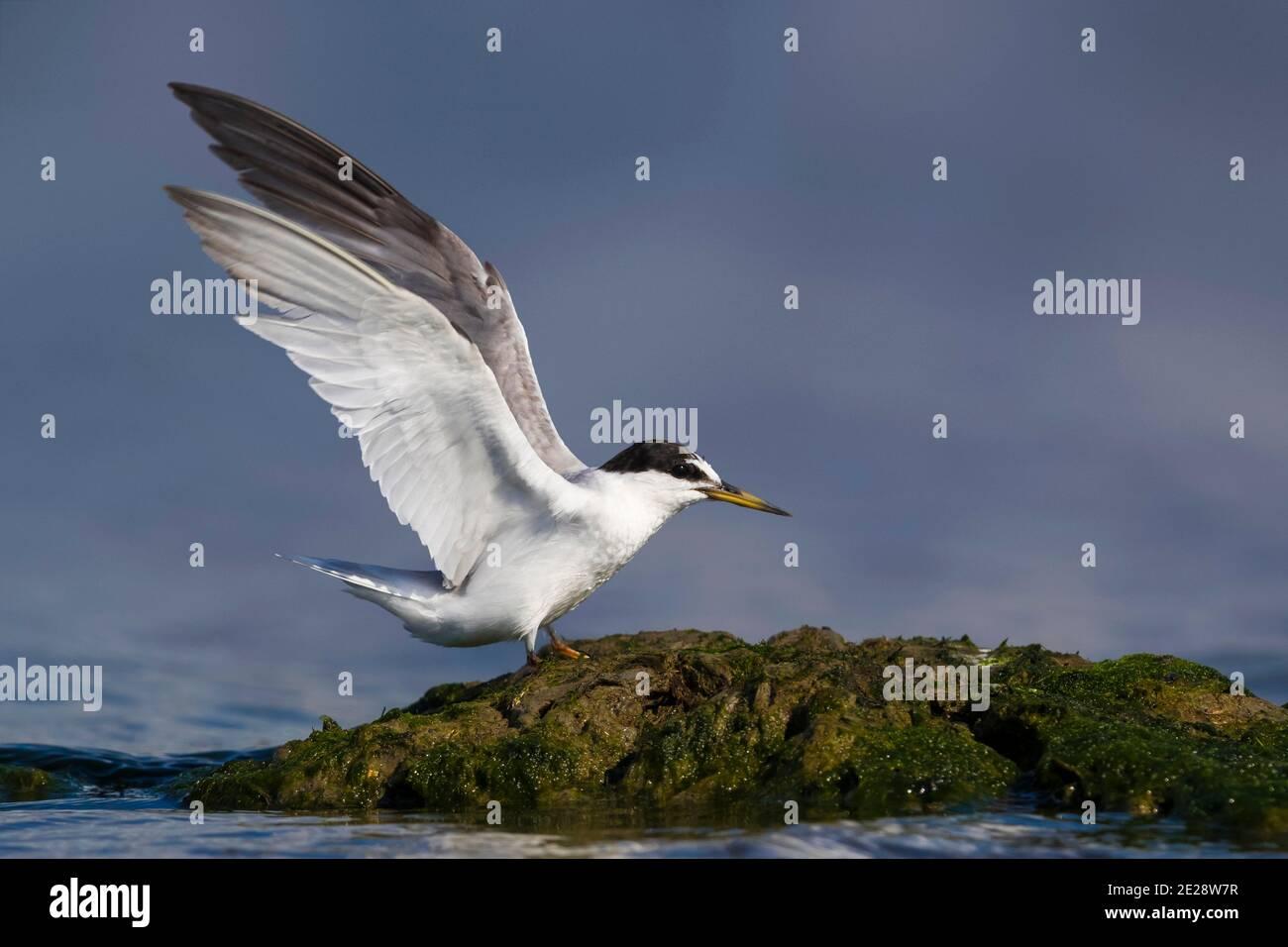 Petite sterne (Sterna albifrons, Sternula albifrons), adulte debout sur une roche côtière avec des ailes élevées, Italie Banque D'Images