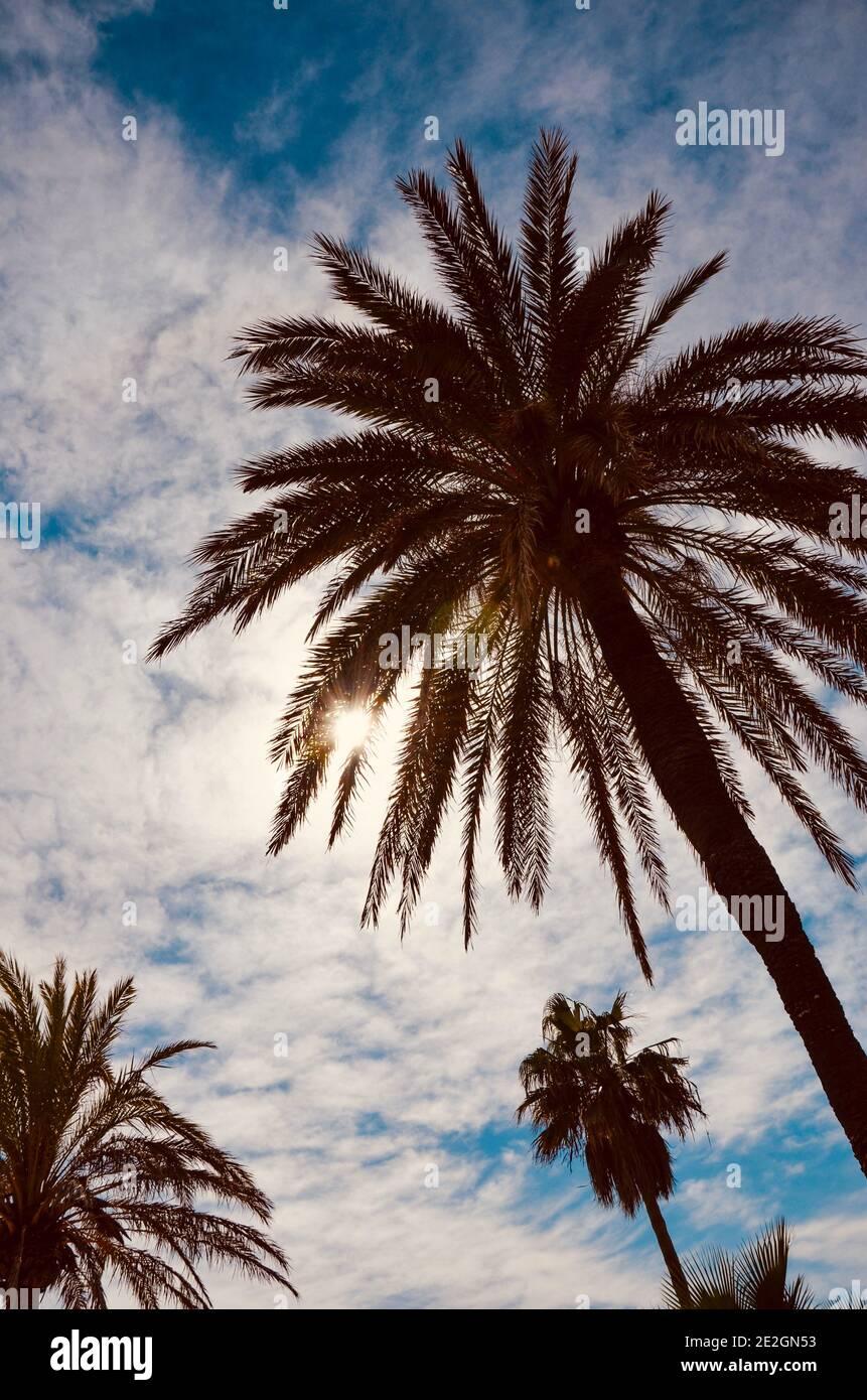 En regardant jusqu'aux palmiers sur fond bleu ciel, vent dans les feuilles, légèrement nuageux, style vintage, une journée ensoleillée Banque D'Images