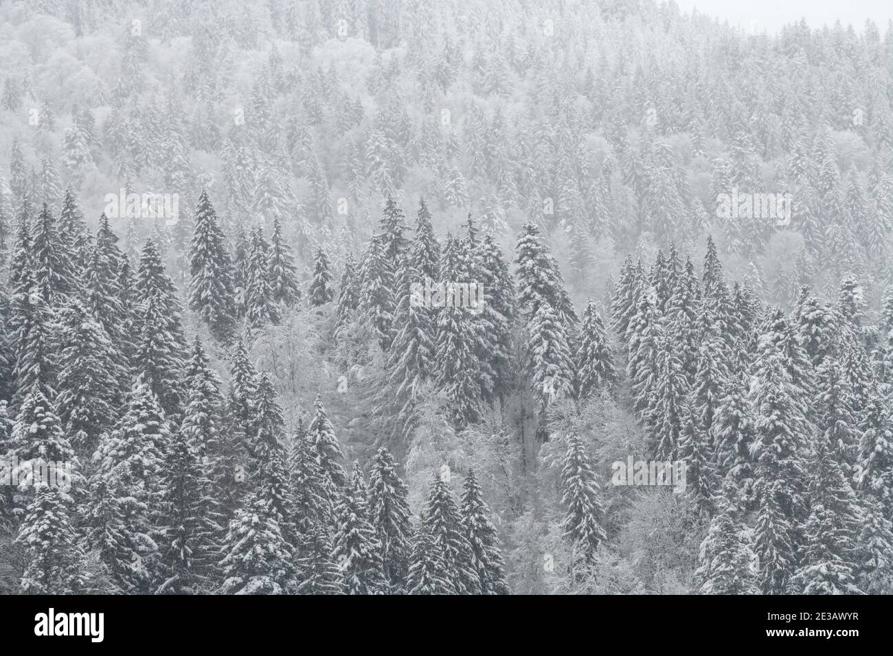 Forêt de sapins et de pins d'hiver recouverte de neige après une forte chute de neige. Paysage magnifique Banque D'Images