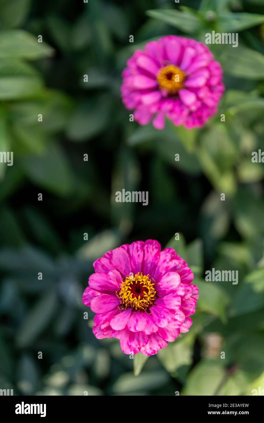 Zennia fleurit dans le jardin du Mémorial des soldats Siberiens morts de la Seconde Guerre mondiale à Irkoutsk. Banque D'Images