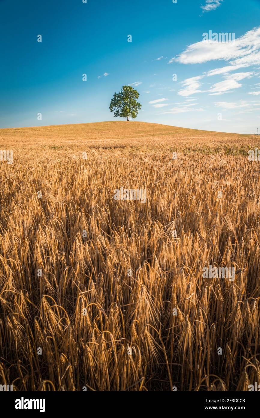 L'arbre solitaire au champ de blé et d'orge en été Paysage sous ciel bleu Banque D'Images