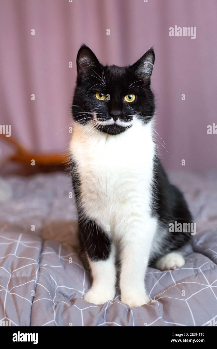 Portrait d'un magnifique chat noir et blanc avec du jaune yeux Banque D'Images