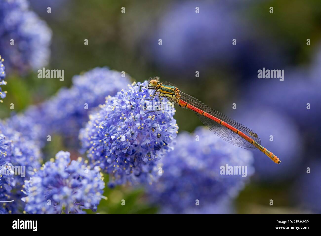 Grand Damselfly rouge ; Pyrhosoma nymphula ; on Ceanothus Flower ; Royaume-Uni Banque D'Images