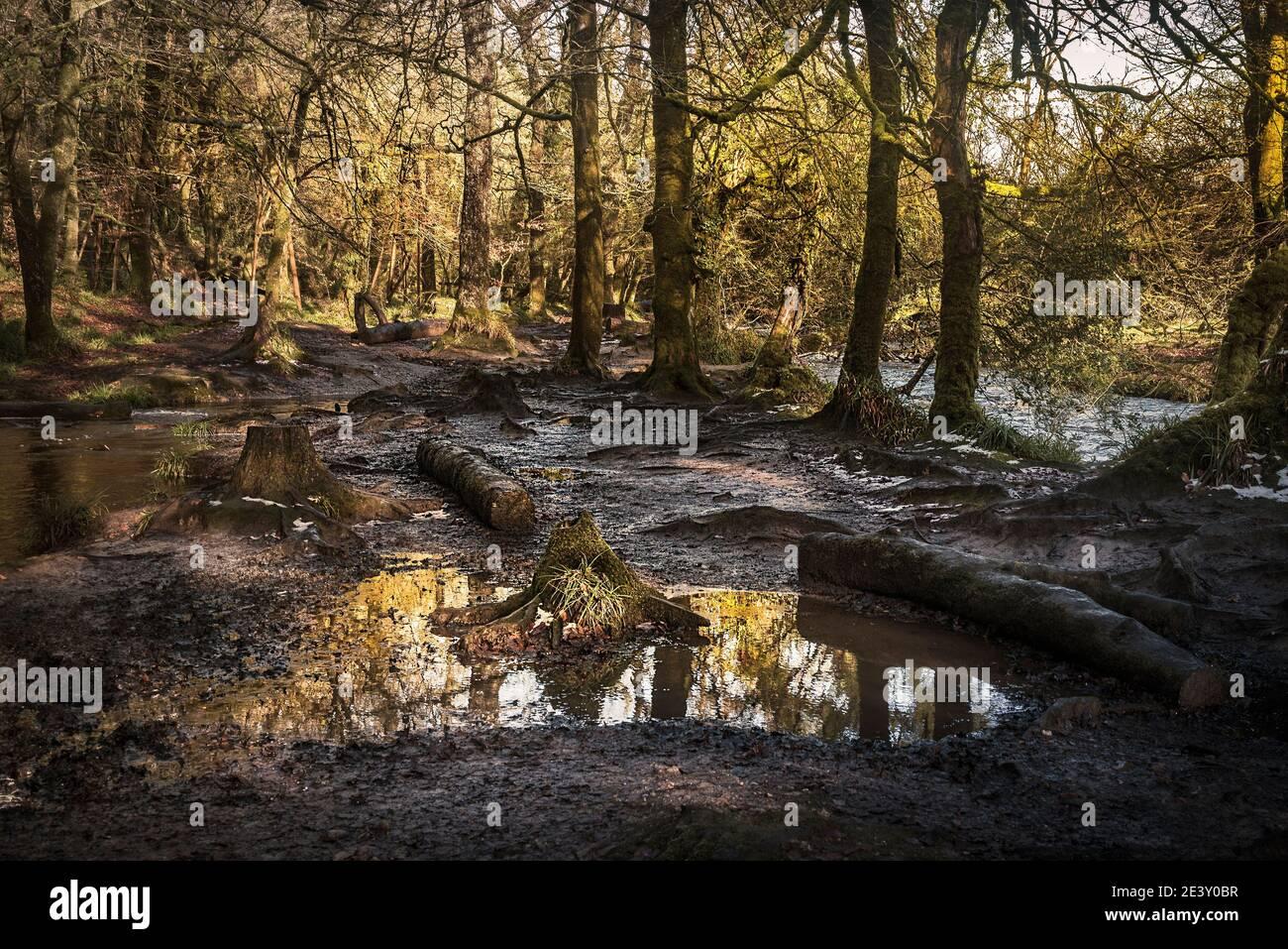 La lumière du soleil en fin d'après-midi tandis que la rivière Fowey coule à travers le bois historique et ancien de Draynes Wood dans les Cornouailles. Banque D'Images