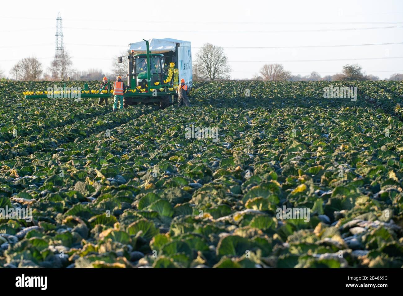 Les travailleurs récoltent des choux de savoie à TH Clements près de Boston dans le Lincolnshire. Date de la photo: Vendredi 22 janvier 2021. Banque D'Images