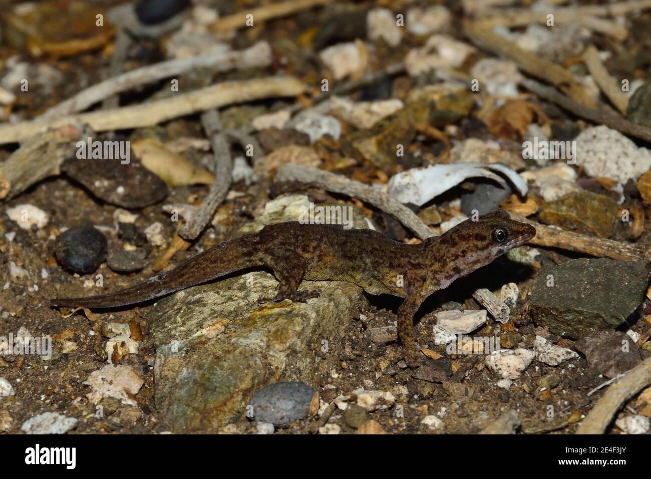 Gonatodes antillensis, antilles gecko, Antillen-Zwerggecko, femme, Weibchen Banque D'Images