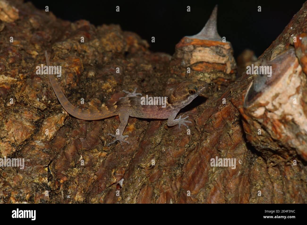 Gonatodes antillensis, antilles gecko, Antillen-Zwerggecko, juvenil, Jungtier Banque D'Images