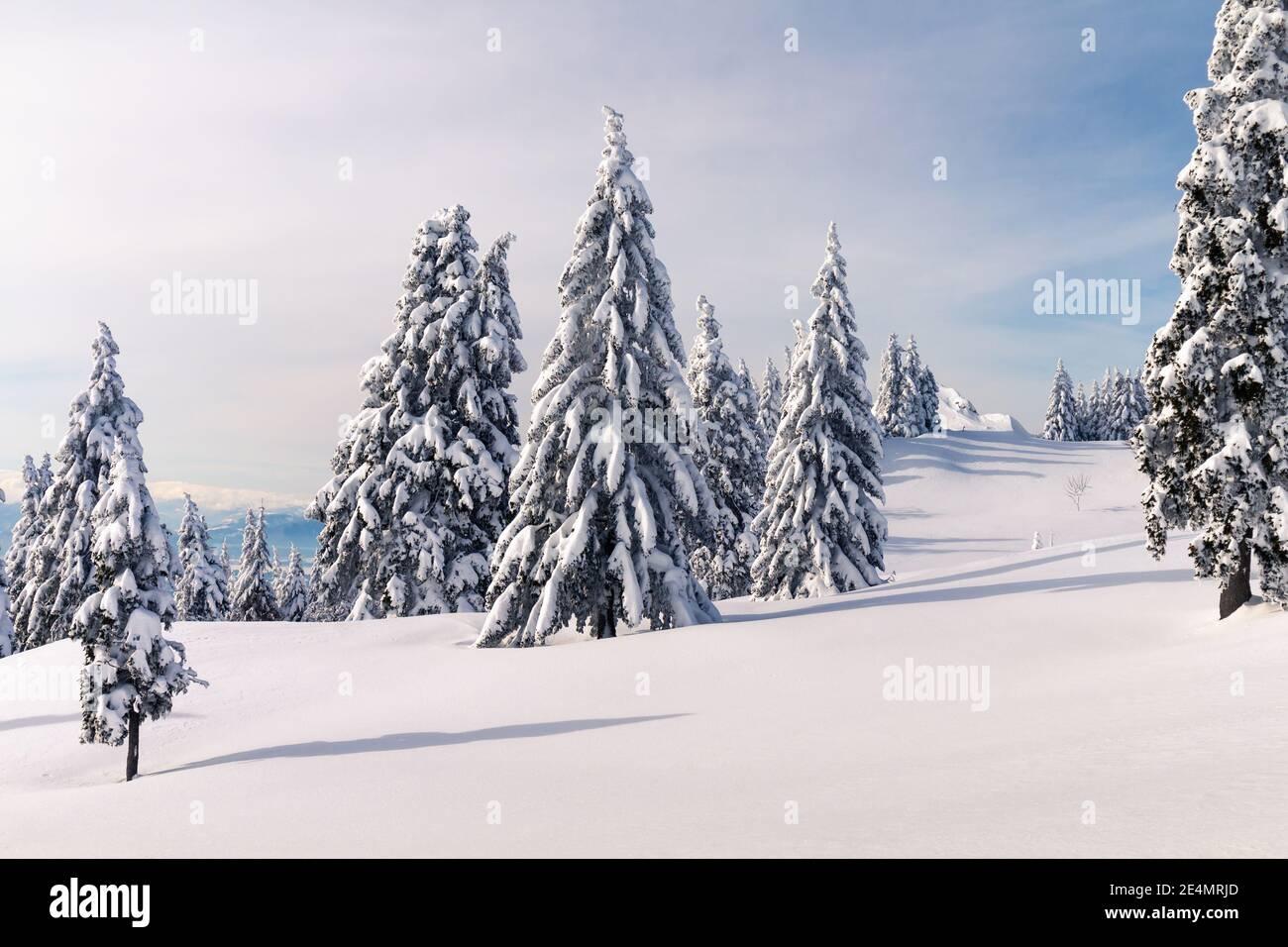 Paysage d'hiver avec des pins enneigés dans les montagnes. Ciel bleu clair avec lumière du soleil. Banque D'Images