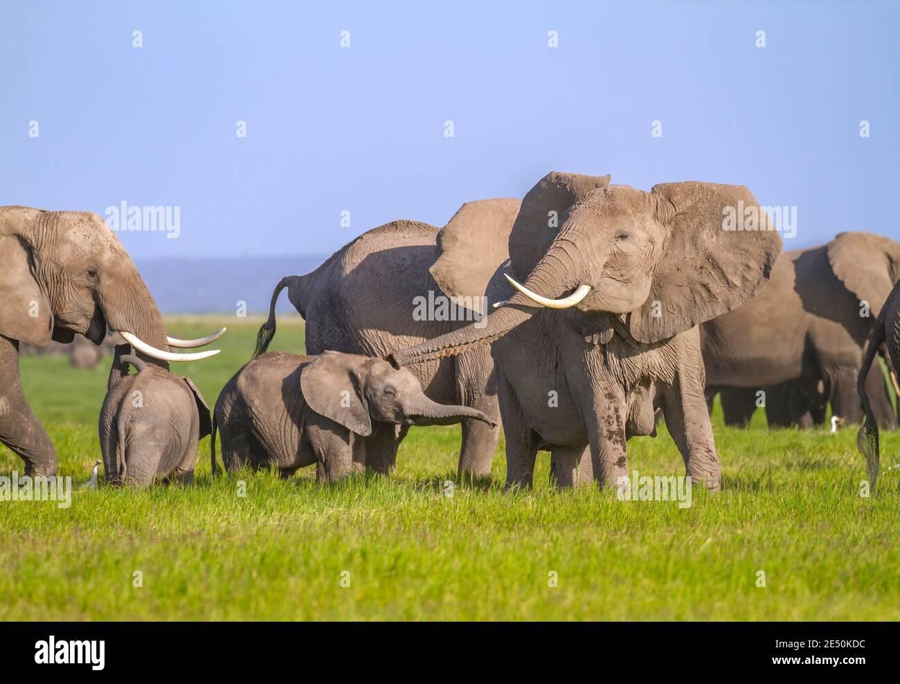 L'éléphant d'Afrique dépasse le tronc pour faire un son de trompette (trompetting) et rabats ses oreilles, copié par le joli petit veau. Parc national d'Amboseli, Kenya Banque D'Images