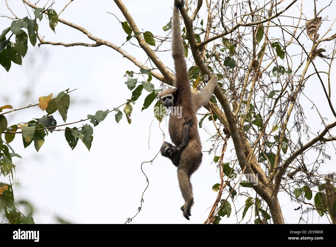 L'image de Hoolock gibbon (Hoolock hoolock) a été prise dans le sanctuaire de Gibbbon Assam, Inde, Asie Banque D'Images