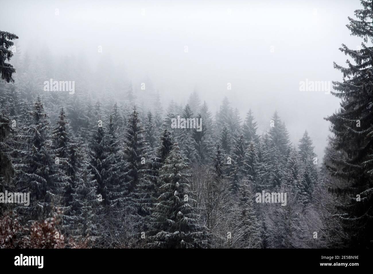 La neige couvrait les arbres dans la forêt pendant un brouillard. Banque D'Images