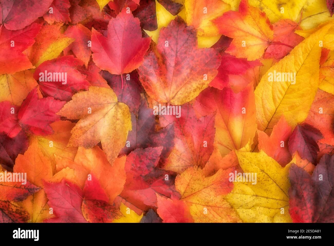 Palette brillante de couleurs d'automne au main City Park à Gresham, Oregon. Banque D'Images