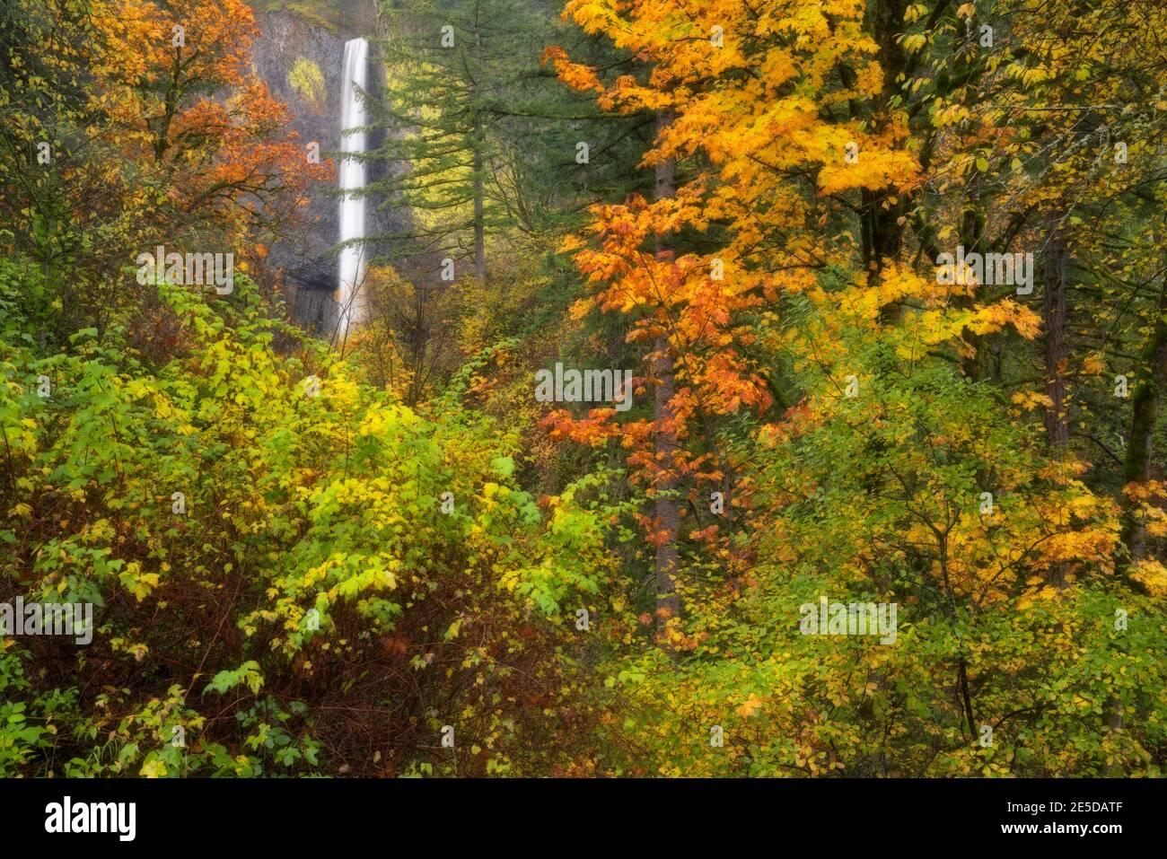Les couleurs d'automne encadrent la descente de 250 pieds des chutes Latourell sur un basalte jaune de couleur lichen dans la gorge de la rivière Columbia en Oregon. Banque D'Images