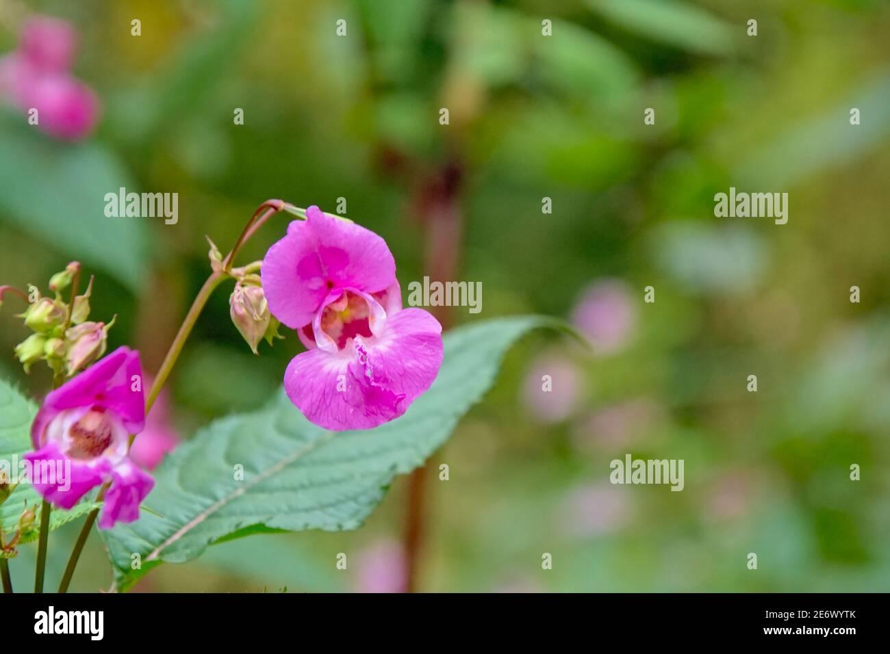 Fleur de Balsam himalayan rose vif - Impatiens glandulifera Banque D'Images
