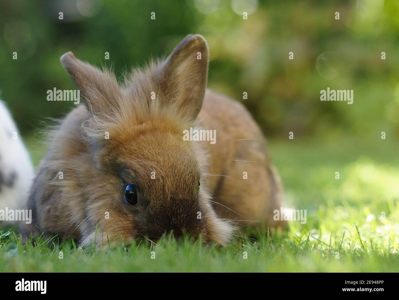 lapin nain de lionhead brun moelleux sur herbe fourmilleuse Banque D'Images