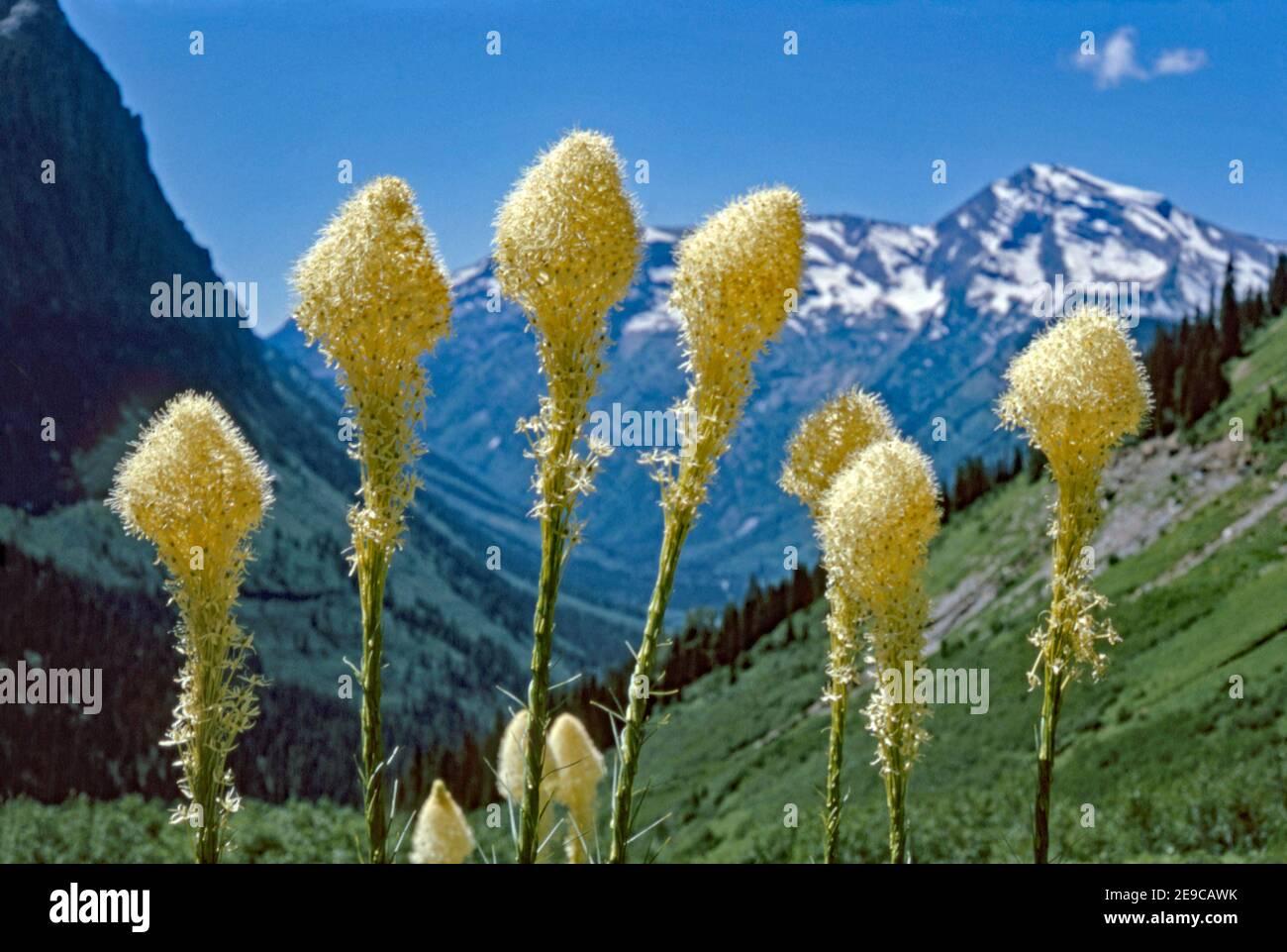 Xérophyllum tenax (herbe à ours, herbe à squaw, herbe à savon, quip-quip, et herbe à panier indienne) dans les montagnes Rocheuses. C'est une espèce nord-américaine de plantes de la famille des nénuphars. Le Xérophyllum tenax a des fleurs avec six sépales et six étamines dans un racéme terminal. La plante peut atteindre 15–150 cm de hauteur. Banque D'Images