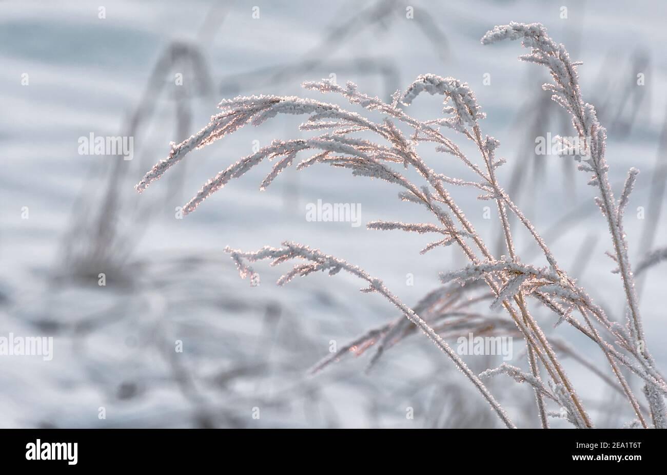 Arrière-plan des lames sèches d'herbe recouvertes de givre en hiver. Banque D'Images