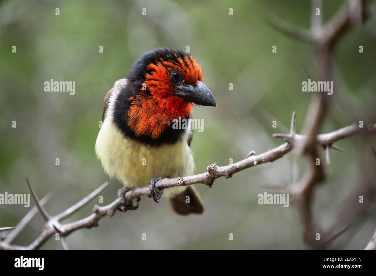 Barbet à collier noir, Lybius torquatus, Parc national Kruger, Afrique du Sud Banque D'Images