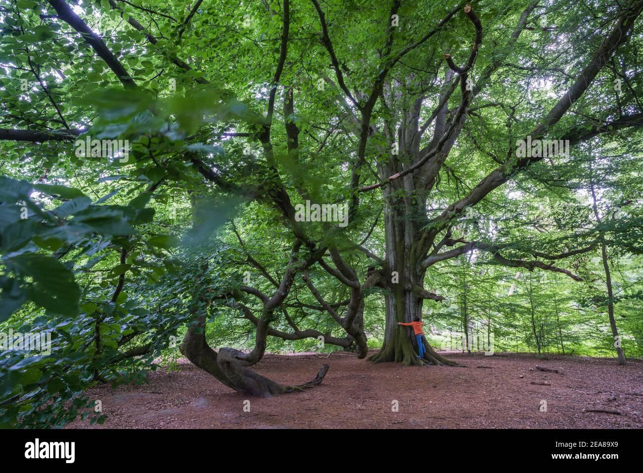 Allemagne, Reinhardswald: La parade du hêtre de 29 m de haut à Urwald Sababurg (forêt primitive). La réserve naturelle de 92 ha est située dans les collines Weser. Banque D'Images