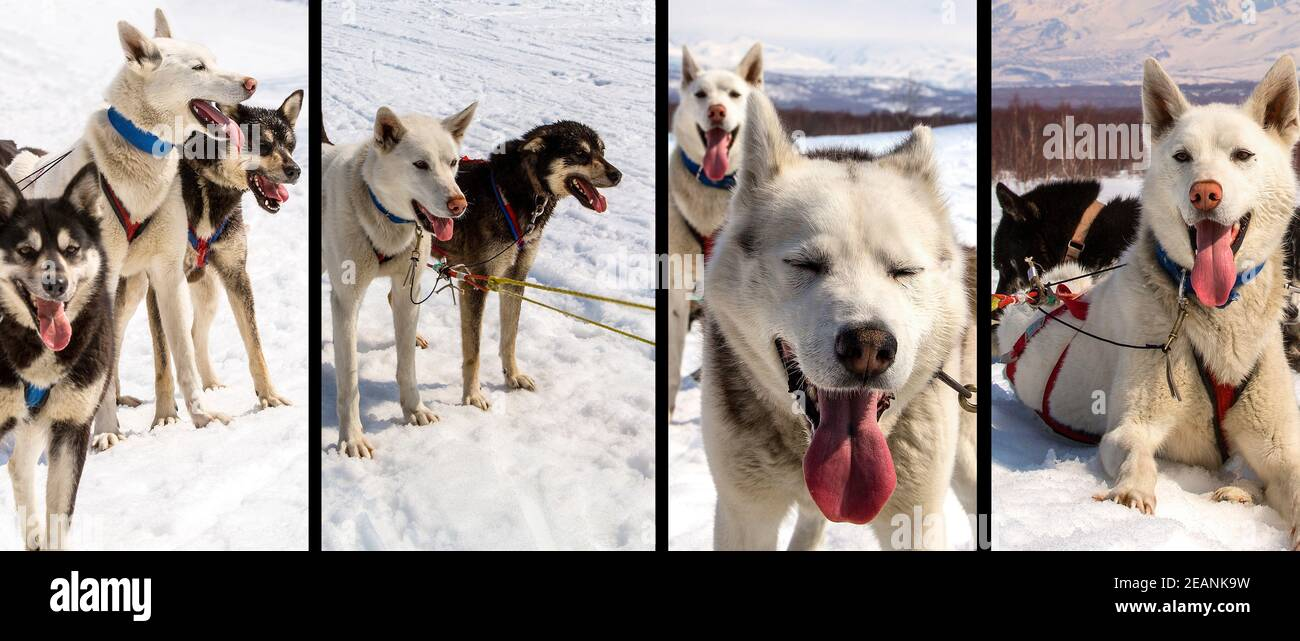 Husky dans le harnais reposant sur la neige Banque D'Images
