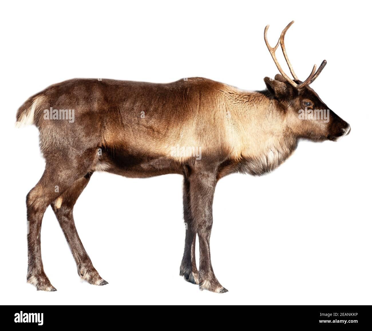 L'image d'un cerf du Nord sur fond blanc Banque D'Images