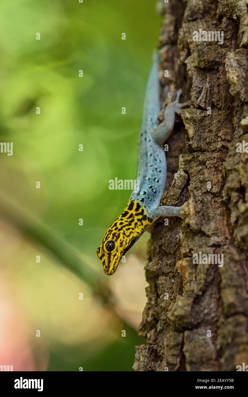 Gecko nain à tête jaune - Lygodactylus luteopicturatus, magnifique lézard coloré provenant de forêts et de forêts d'Afrique de l'est, Zanzibar, Tanzanie. Banque D'Images