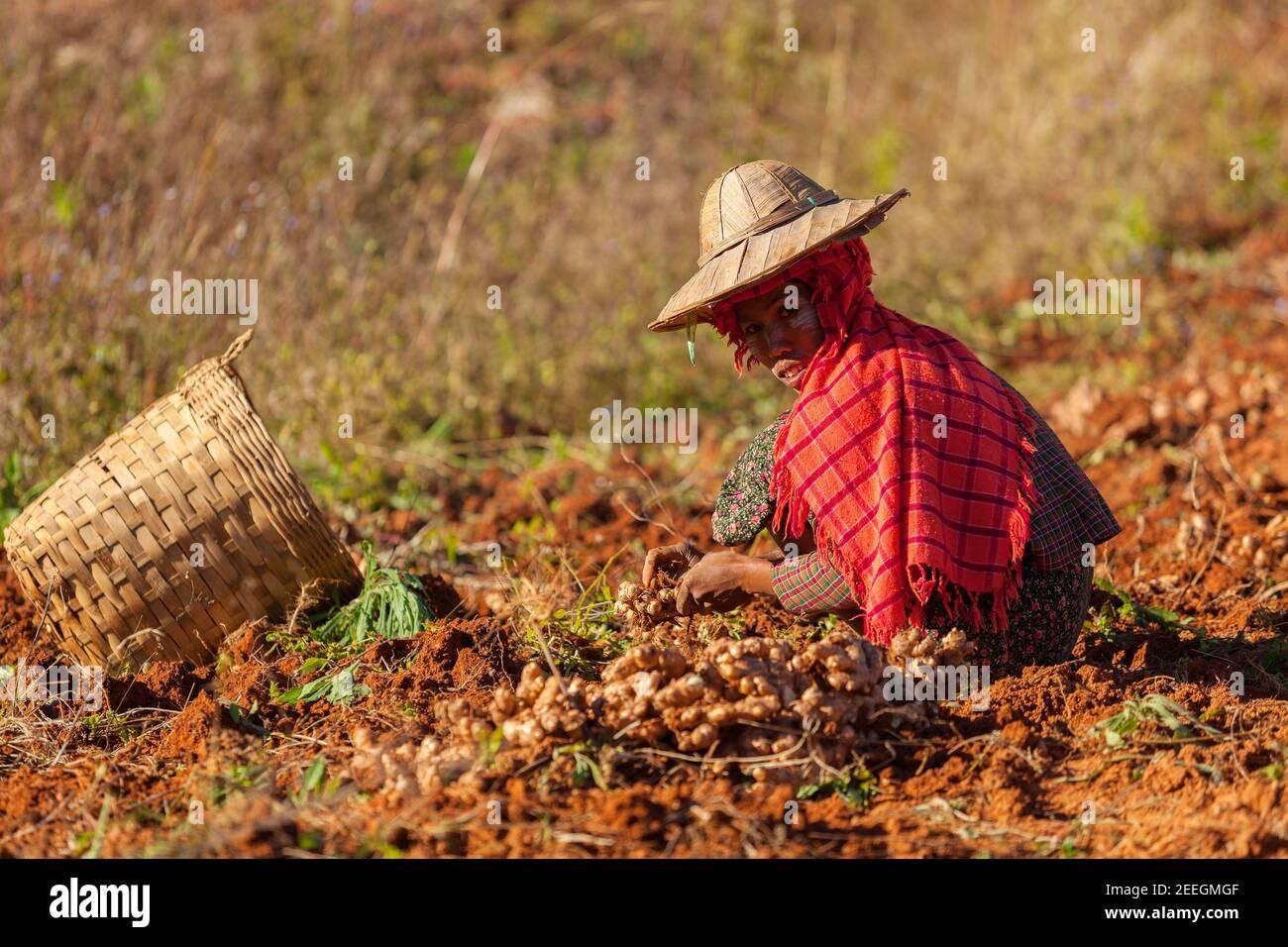 Kalaw, Myanmar - janvier 2018. Femme birmane dans un chapeau de paille traditionnel collectant du gingembre sur le terrain. Banque D'Images