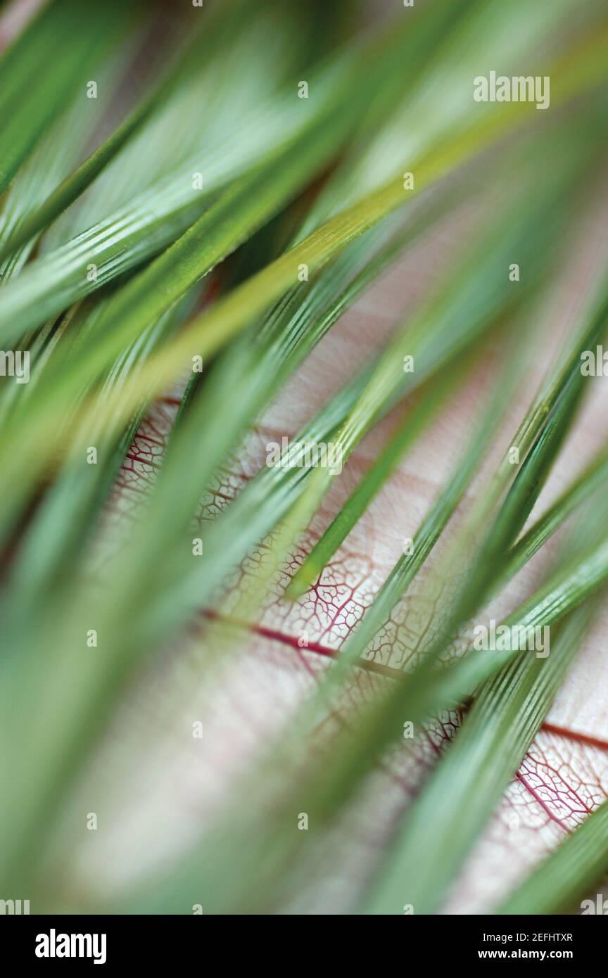 Close-up de brins d'herbe verte Banque D'Images